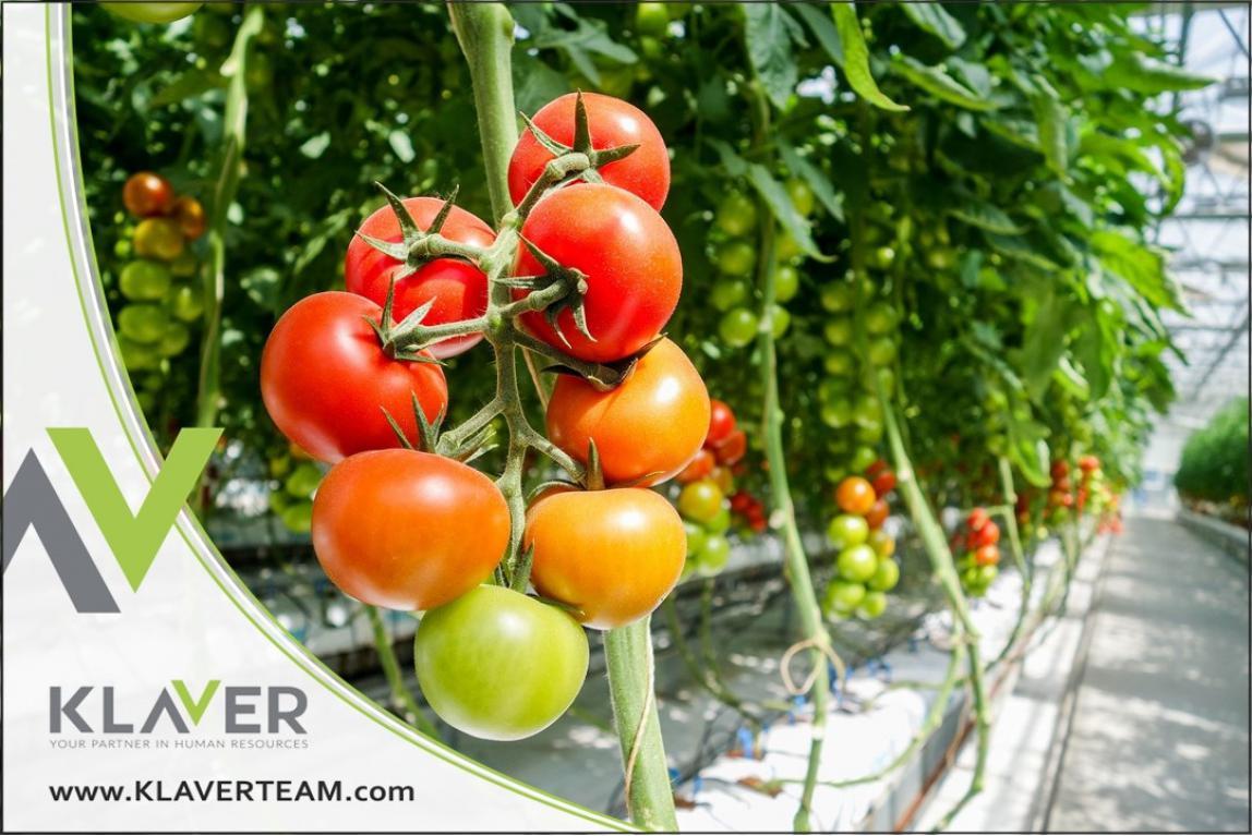 Szklarnia z pomidorami, praca od zaraz, Holandia